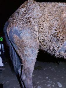 Primul animal salvat de Poliția Animalelor Sibiu